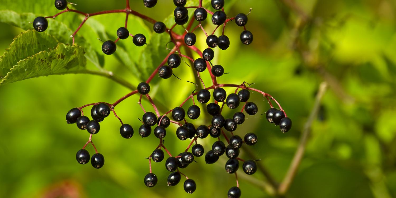 Elderberries growing on a bush